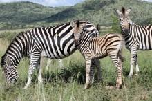 Zebras at Pilanesberg Game Reserve